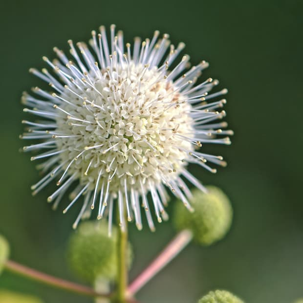 Buttonbush white flower