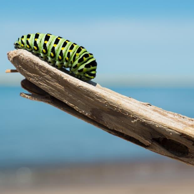树枝上的绿色毛毛虫