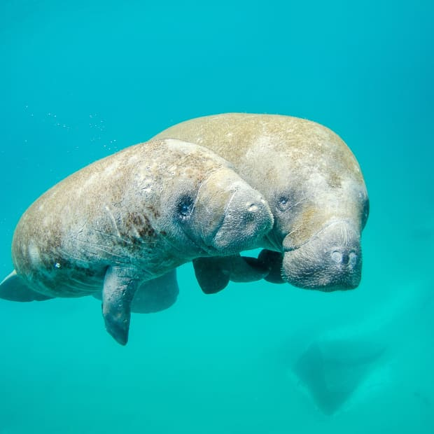 manatee-species-facts-and-problems-intriguing-sea-cows