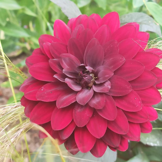 how-to-deadhead-dahlias-to-keep-them-blooming-all-summer