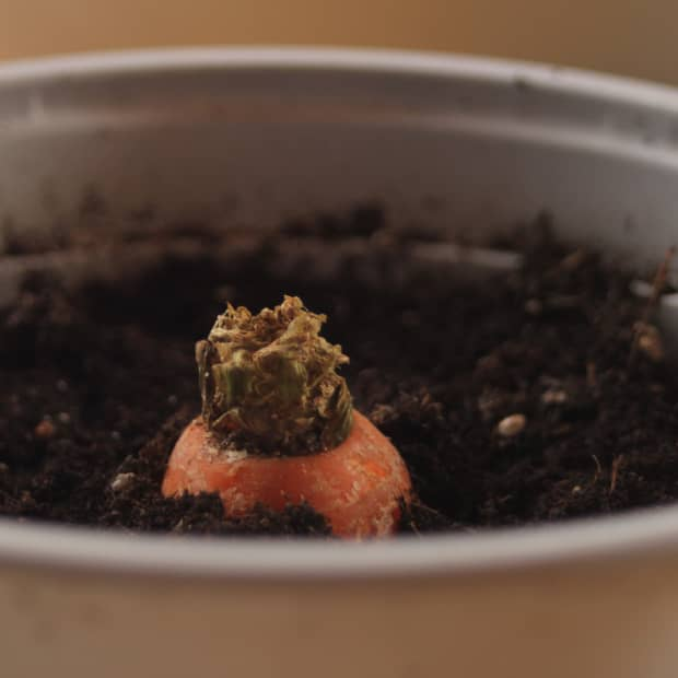 how-to-regrow-root-vegetables-from-scraps