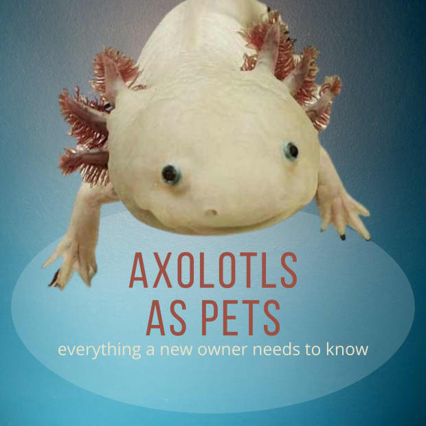 everything-axolotl