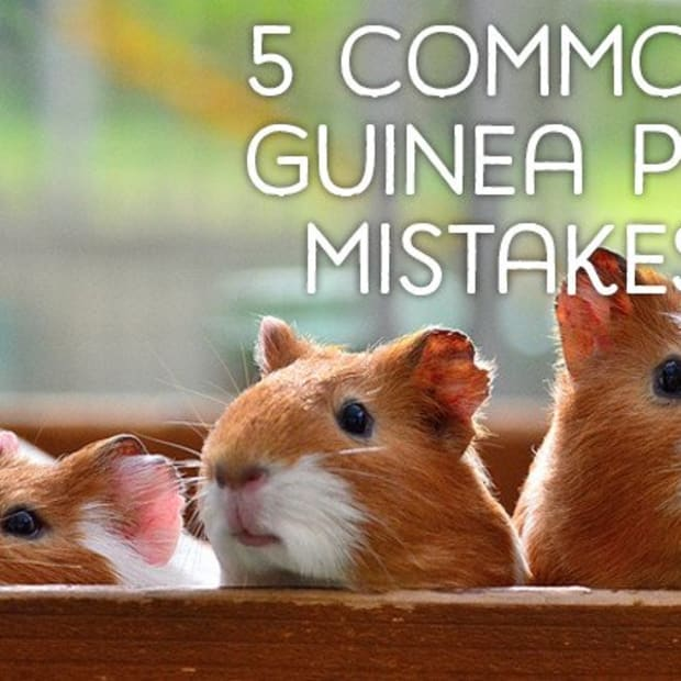 5-most-common-guinea-pig-owner-mistakes