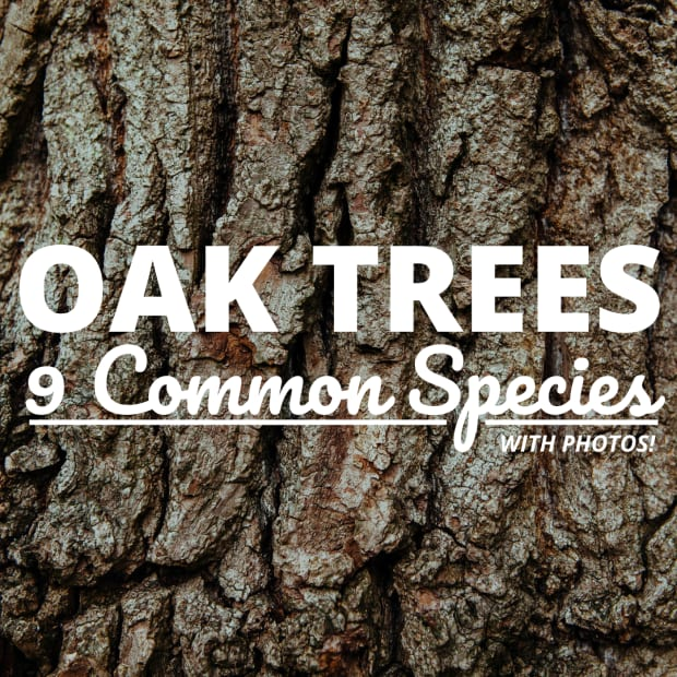 types-of-oak-trees-with-pictures-of-bark