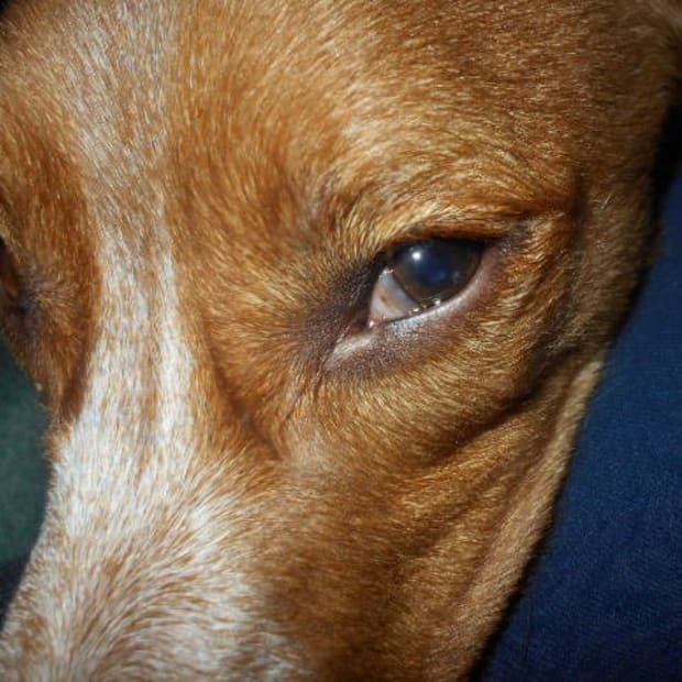 causes-of-dog-third-eyelid-showing
