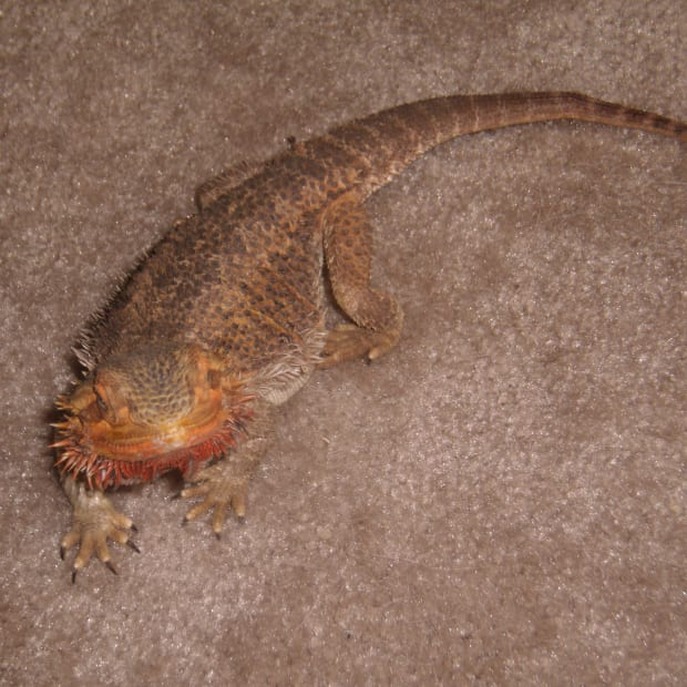 bearded-dragon-behavior-and-diseases