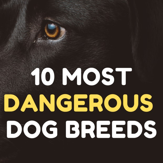 most-dangerous-dog-breeds