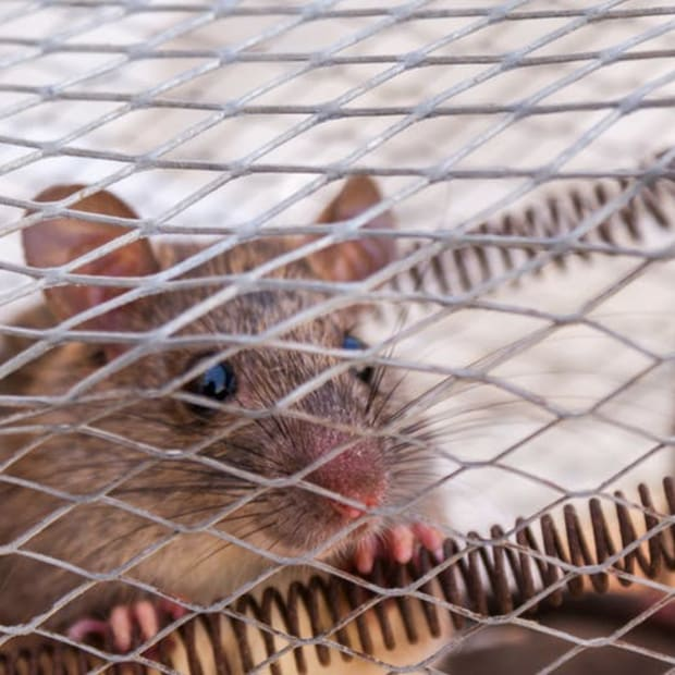 how-to-take-care-of-your-pet-rat