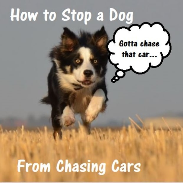 how-to-stop-a-dog-from-chasing-cars