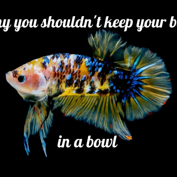 why-you-should-not-keep-a-betta-fish-in-a-bowl
