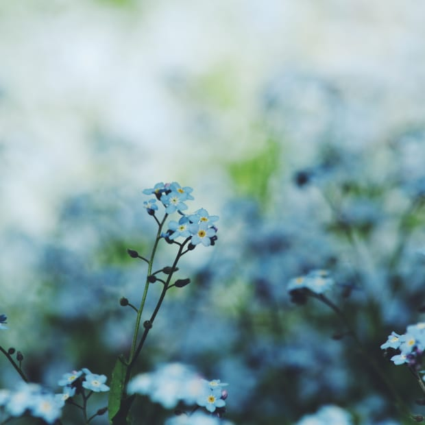 forget-me-not flowers in bloom