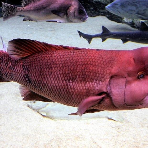 the-kobudai-and-the-california-sheephead-fish-that-change-gender