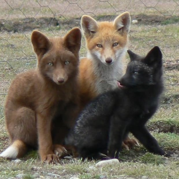 russian-pet-domesticated-foxes
