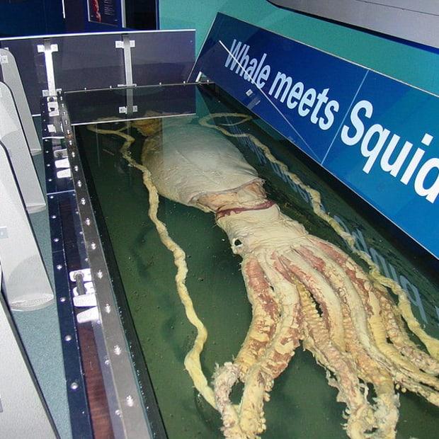 top-10-rare-sightings-of-the-elusive-giant-squid