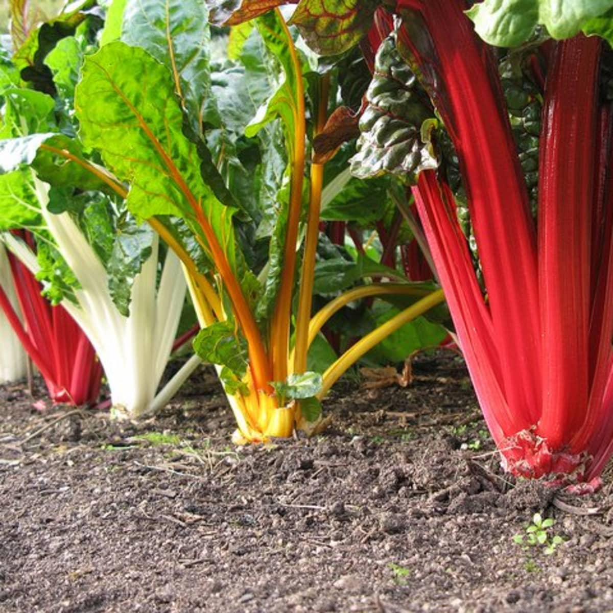 Growing Maintaining And Troubleshooting Swiss Chard Dengarden Home And Garden