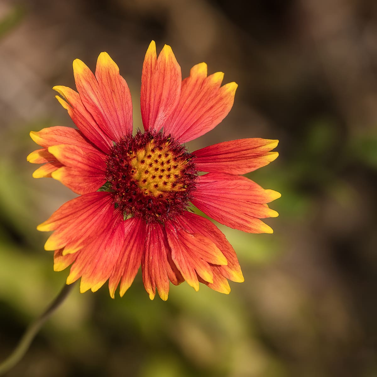 Colorful Blanket Flowers Loved By Butterflies Birds And Bees Dengarden