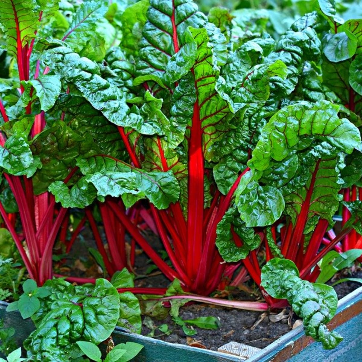 How to Grow Swiss Chard for Spring or Fall - Dengarden