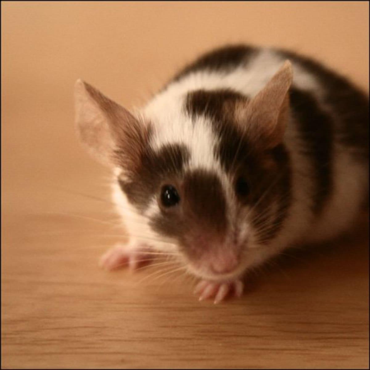 single feeder mice