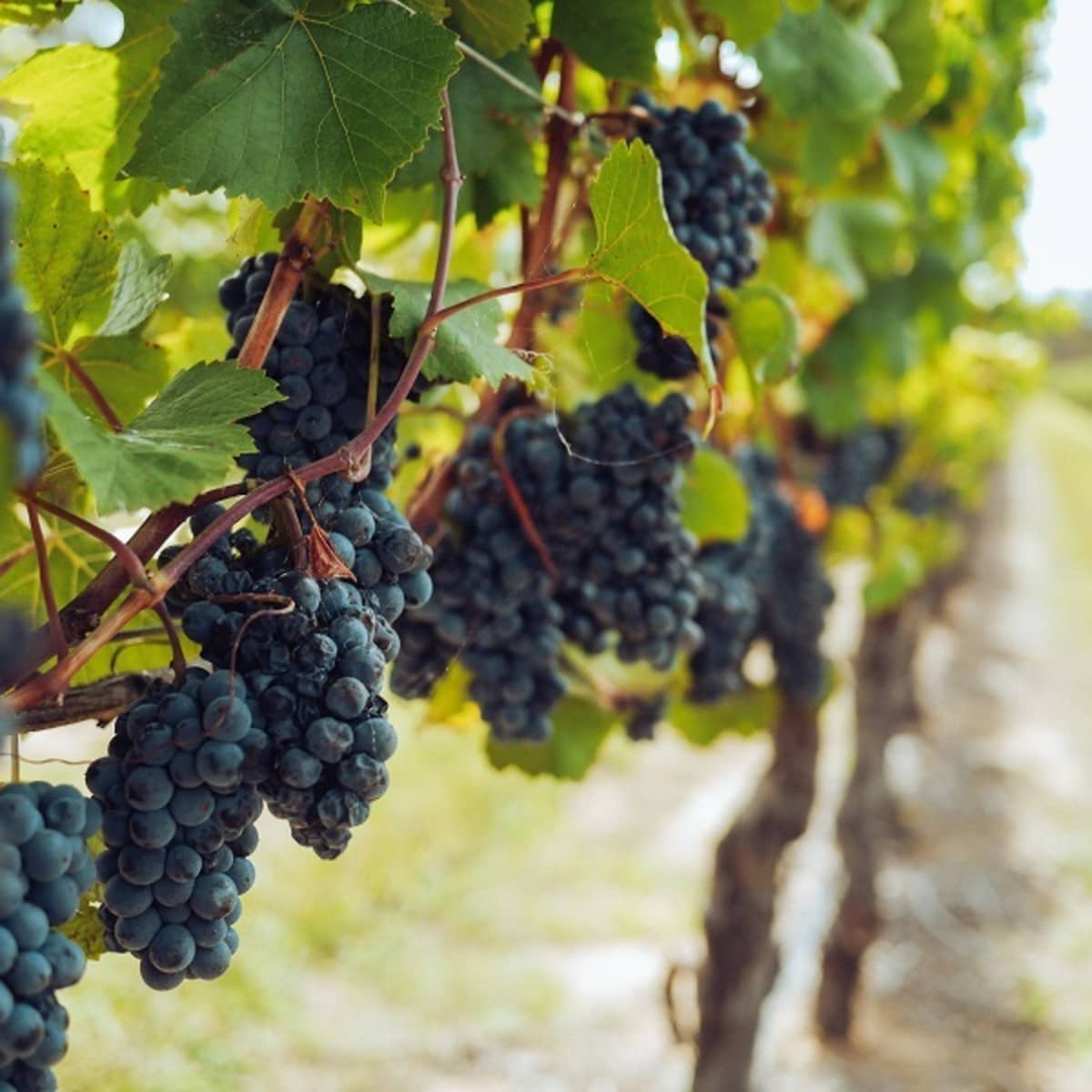 What Is the Difference Between a Bine and a Vine? - Dengarden
