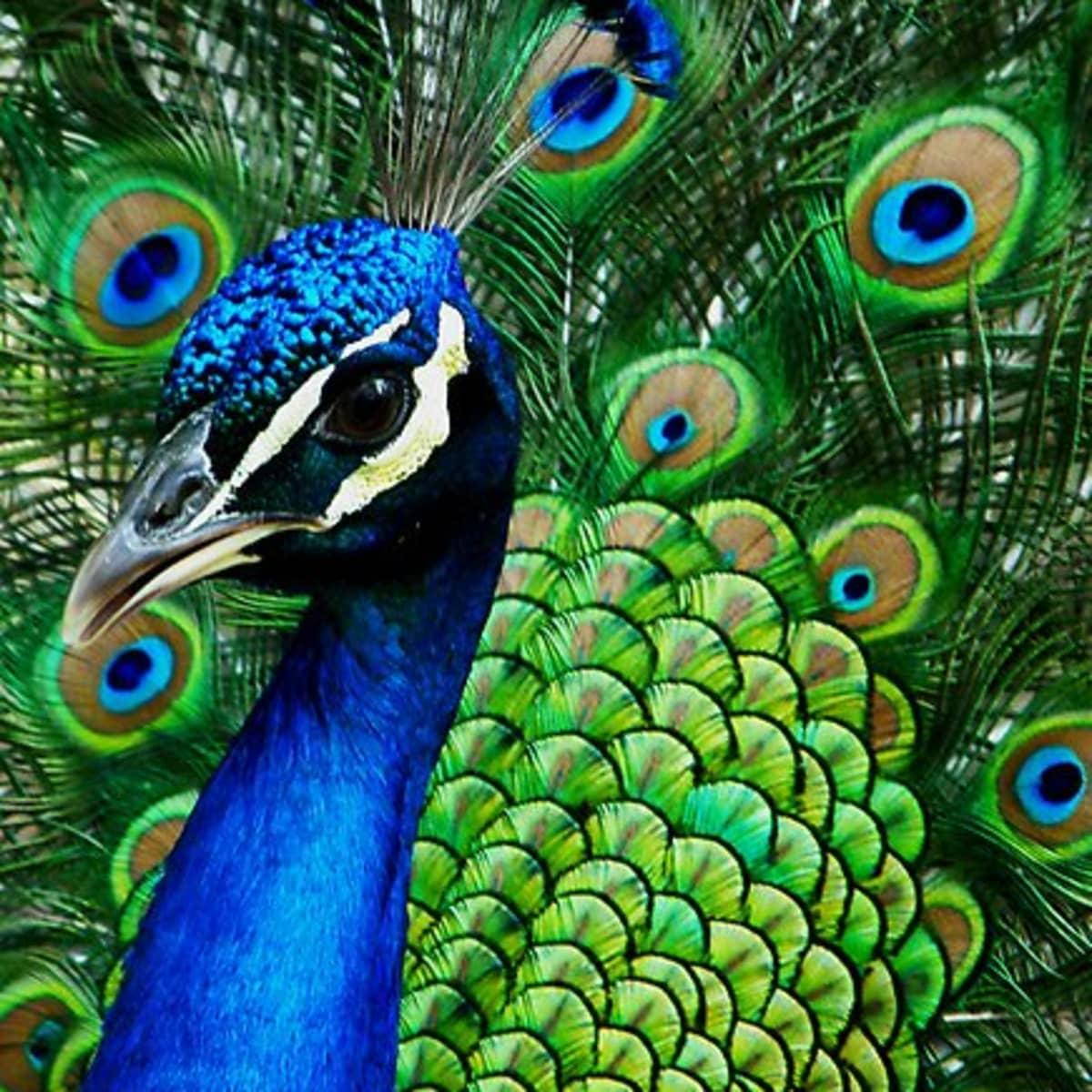 peacock   birds name
