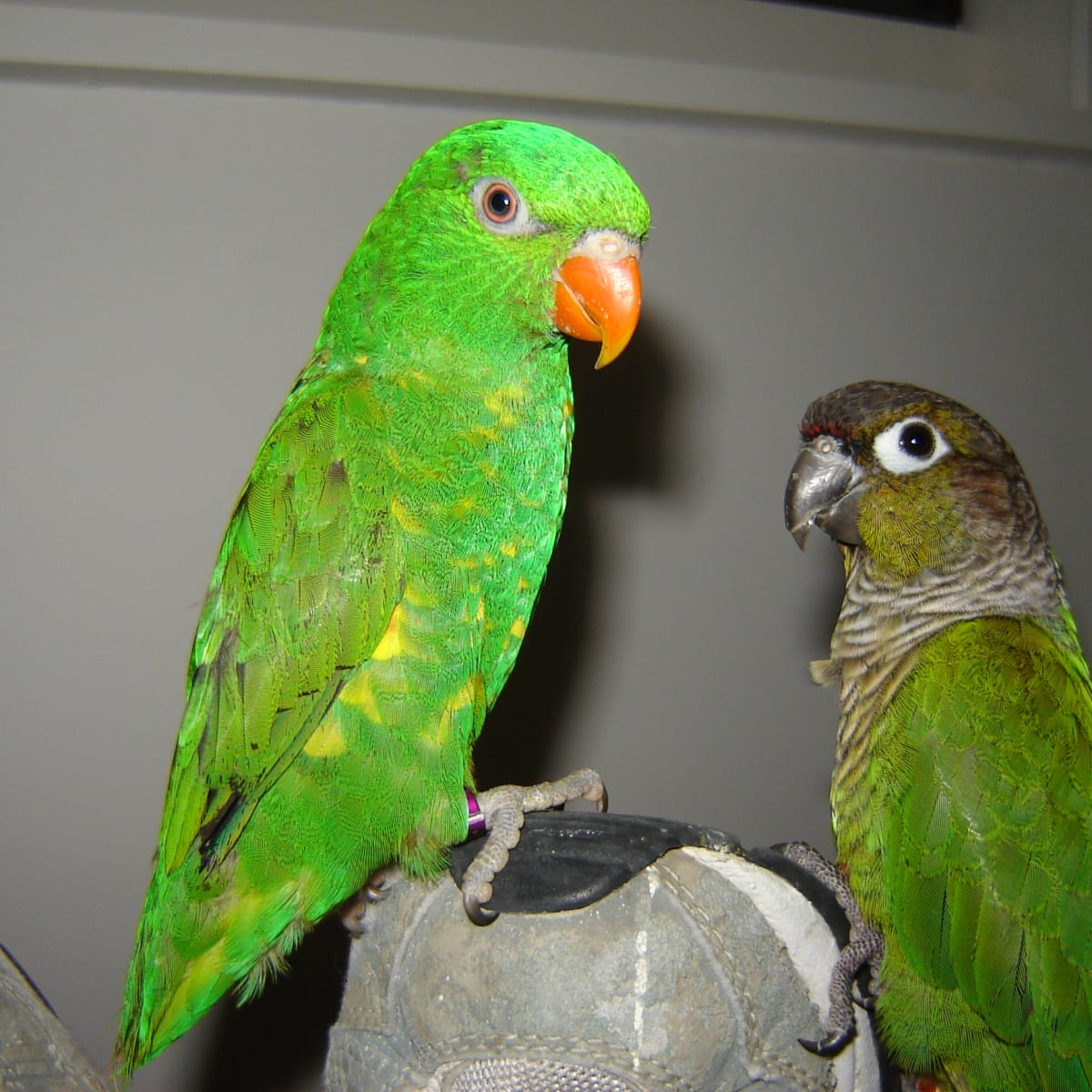 All About Scaly Breasted Lorikeets Pet Birds And Wild Birds Pethelpful