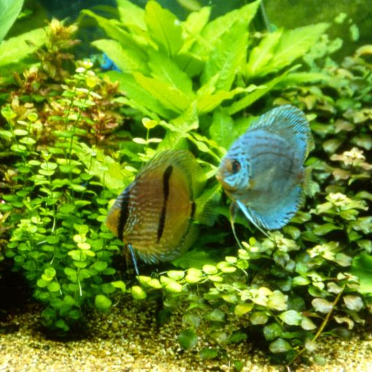 The Best Bottom Feeders For Cleaning Your Aquarium Fish Tank Pethelpful By Fellow Animal Lovers And Experts