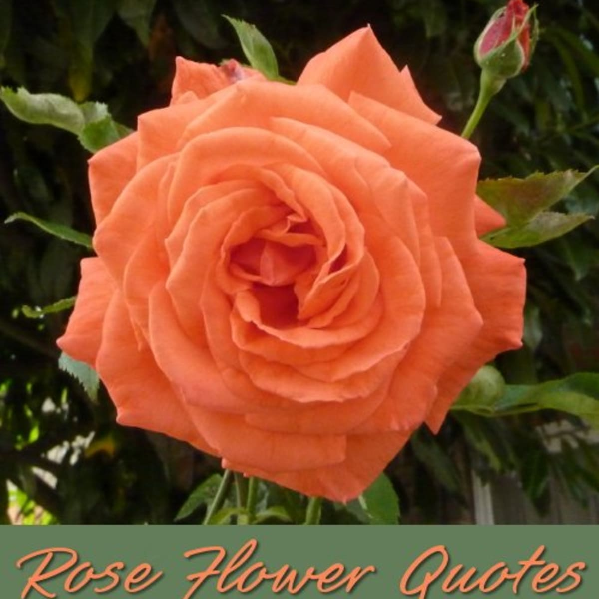 Beautiful Quotes About The Rose Flower Holidappy Celebrations