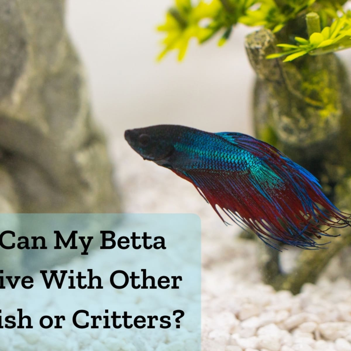 10 Best Tank Mates For Bettas And Betta Fish In A Community Tank Pethelpful By Fellow Animal Lovers And Experts