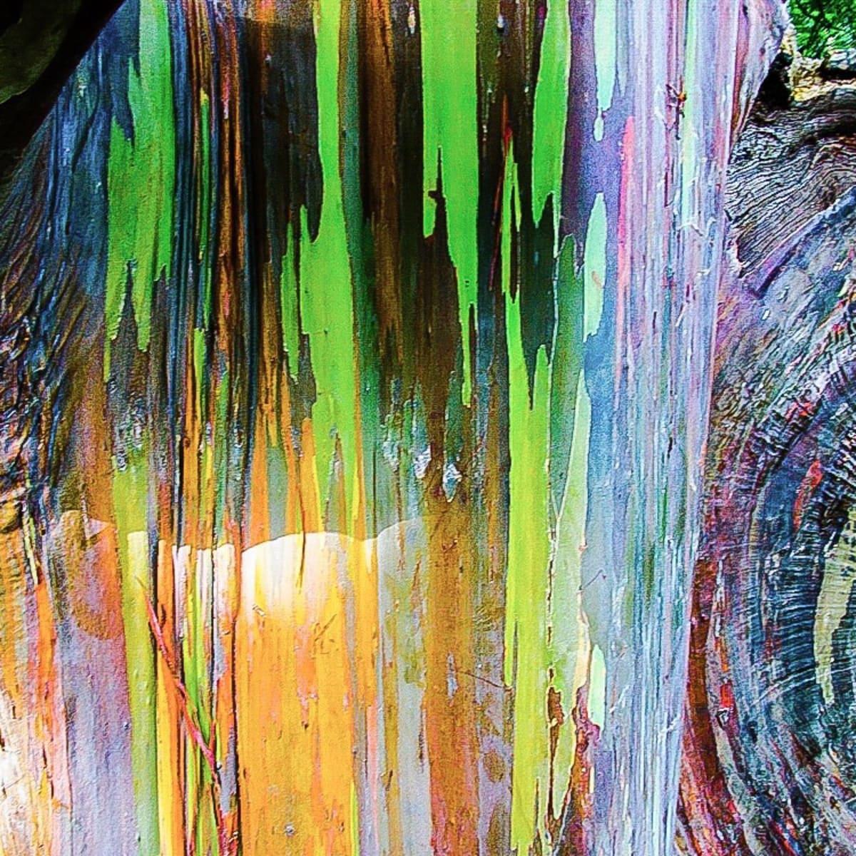 Rainbow Eucalyptus An Unusual Tree With A Multicoloured Trunk Owlcation Education