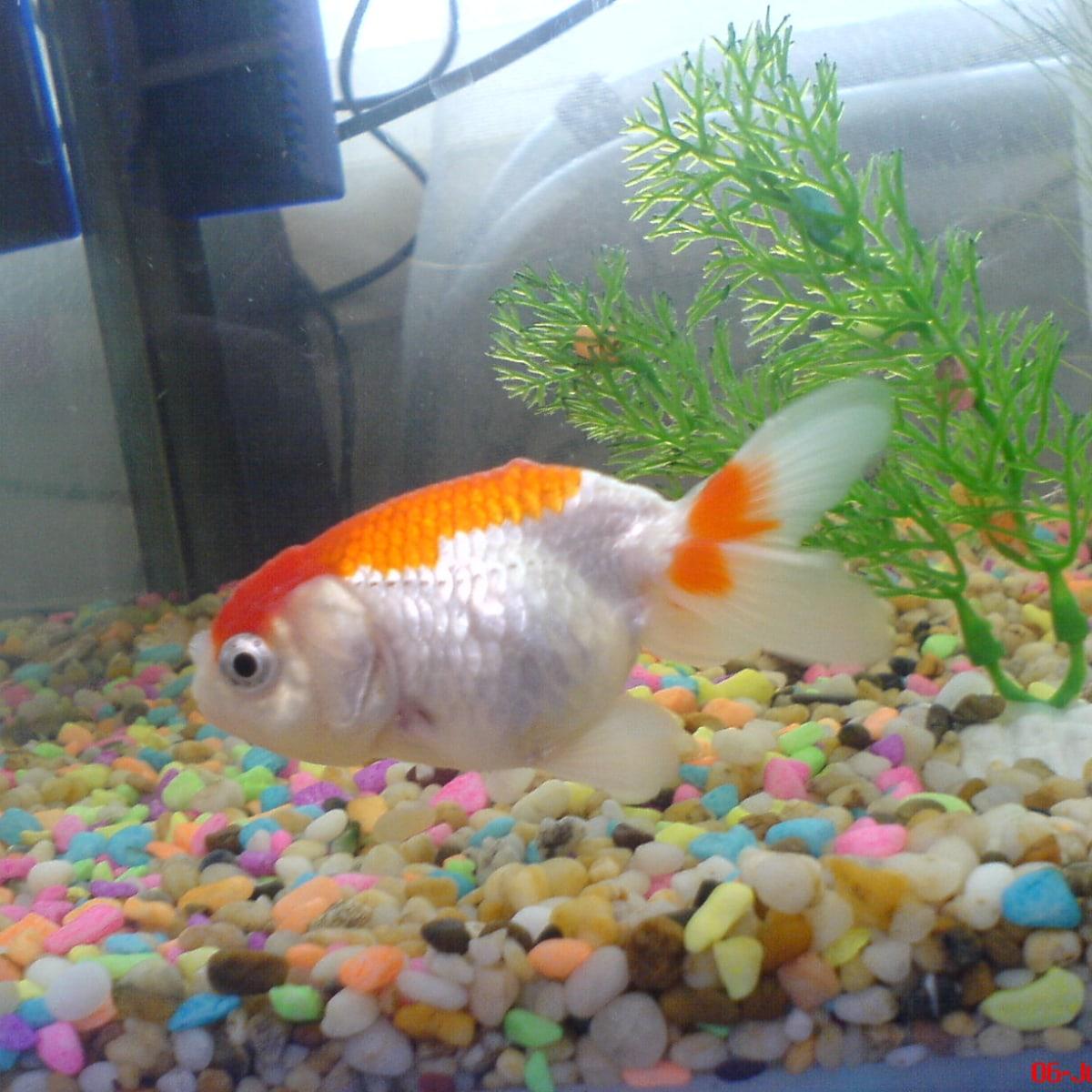 Ranchu Goldfish Raising The Amazing Fancy Goldfish Pethelpful By Fellow Animal Lovers And Experts