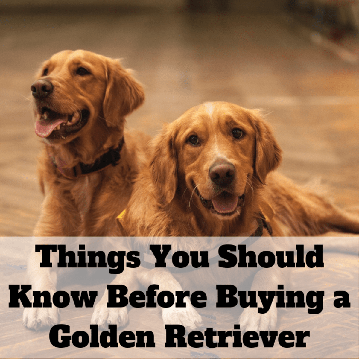 13 Things To Consider Before Buying A Golden Retriever Pethelpful By Fellow Animal Lovers And Experts