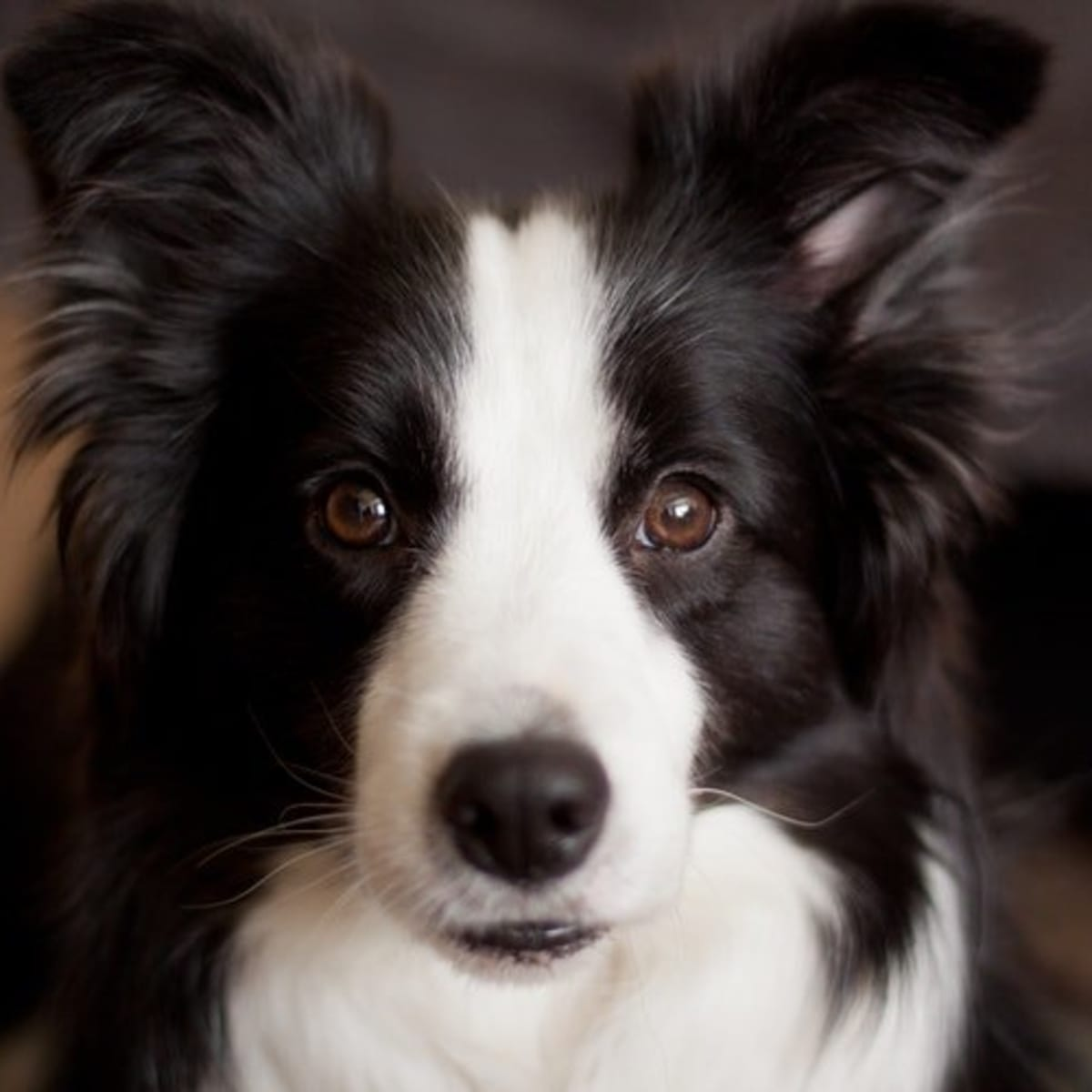 Your Guide To Border Collie Coat Colours Pethelpful By Fellow Animal Lovers And Experts