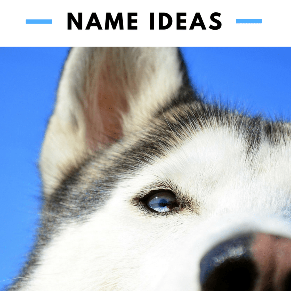 150 Cool Husky Names And Sled Dog Name Ideas Pethelpful By Fellow Animal Lovers And Experts