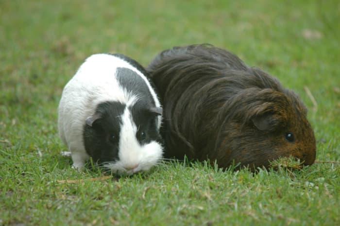Guniea Pigs. Used by permission.