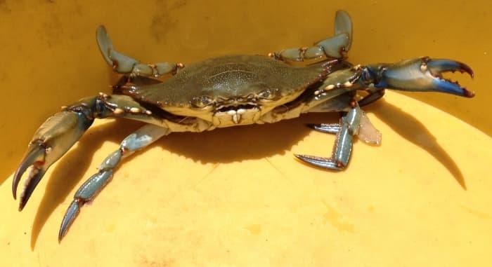 male blue crab