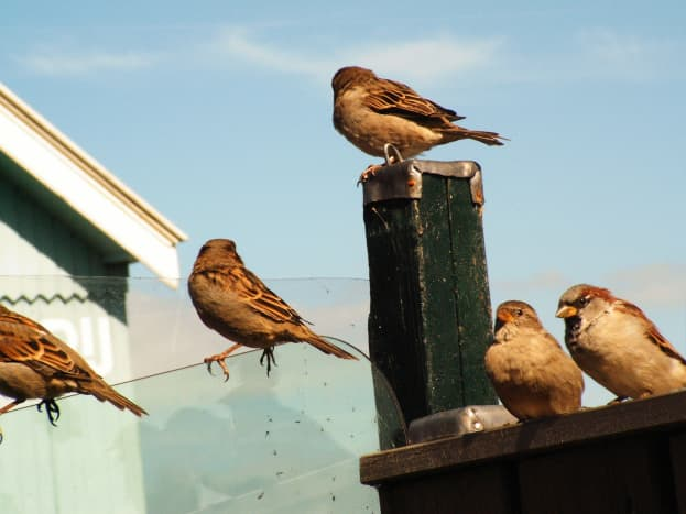 Several house sparrows perched in an urban environment