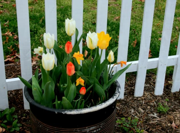As the daffodils fade, the tulips in this lasagna bulb pot come into flower. Gorgeous!