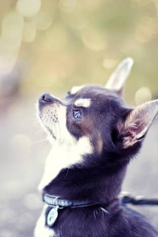 The Chihuahua is the smallest of all breeds.