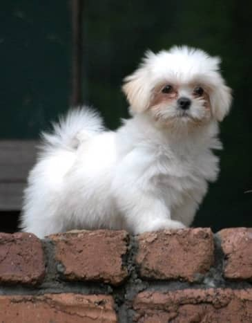 A Lhasa Apso working as a watchdog at only 18 weeks old.