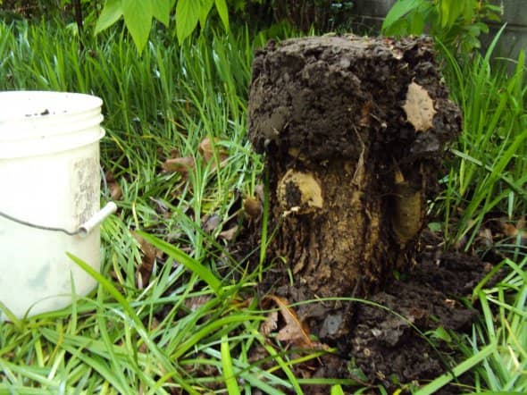 Dirt applied to top of stump