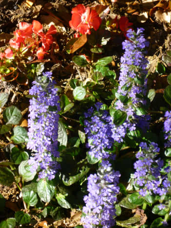 Ajuga in bloom in our garden areas