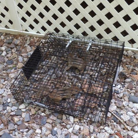 chipmunk-trap
