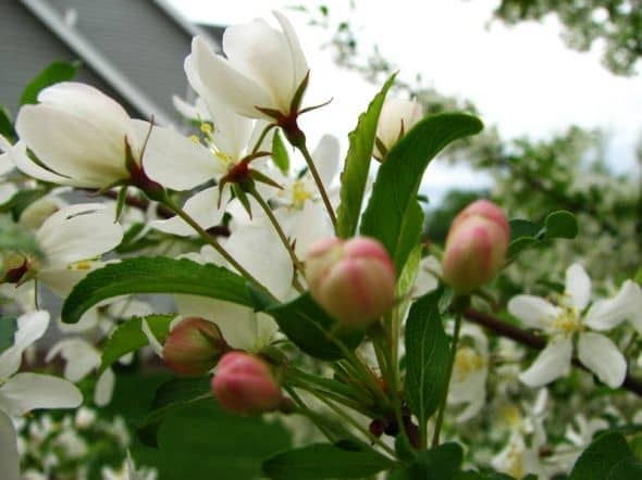 Golden Raindrops with pink buds
