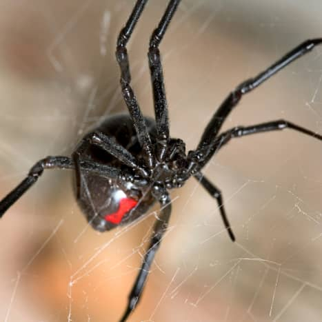 Few spiders are as recognizable as the black widow.