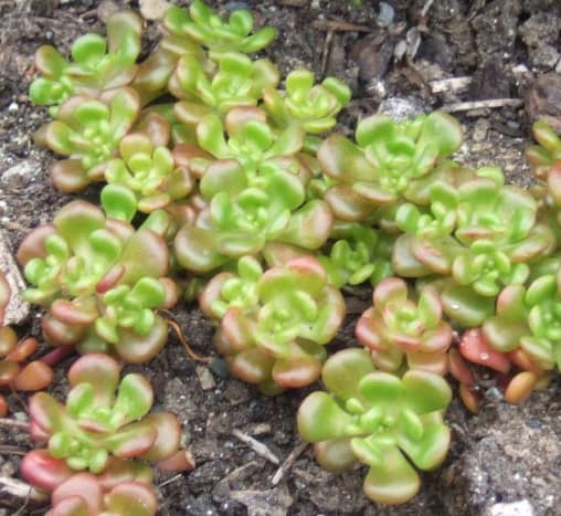 Tiny Oregon stonecrop grows on rocky ground - little soil required.