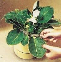 1. Choose good healthy leaf and cut off at base. Cut off stem.
