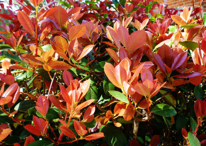 Our red tipped photinias in our yard in Houston.