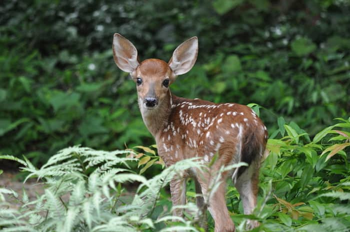 Deer are mice are hosts to ticks.