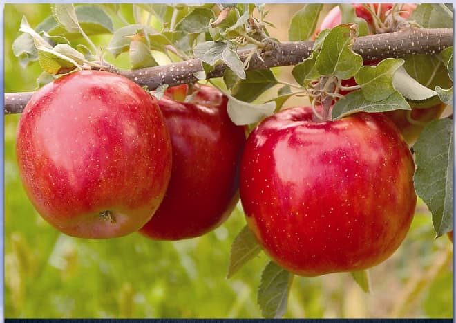 Fuji apples are tasty and now you can grow your own.
