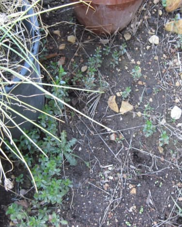 These tiny seedlings no doubt came from seeds blown over or through the fence out of sight a few feet to the right. Behind that fence is a forest of coyote brush. These crowded around and between these flower pots. The rosette is a bull thistle.